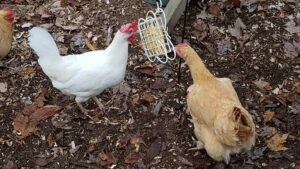4th quarter woes of a suburban chicken mom